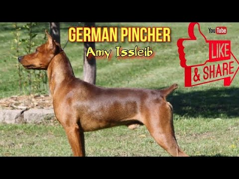 German Pincher - Amy Issleib  | HOD #8