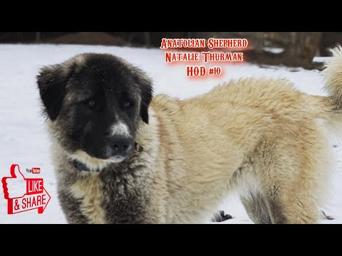 Anatolian Shepherd - Natalie Thurman from NW Guardians | HOD #10
